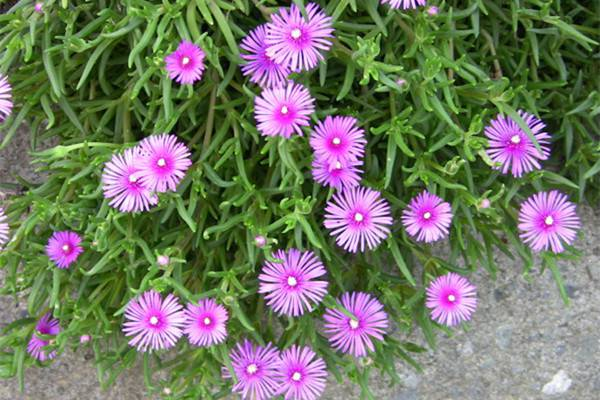 松叶菊的养殖方法和注意事项
