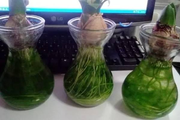 不给水培盆栽里的绿藻留活口