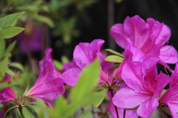 春鹃的养殖方法和注意事项