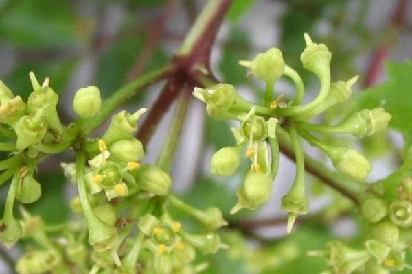 粉藤的养殖方法和注意事项
