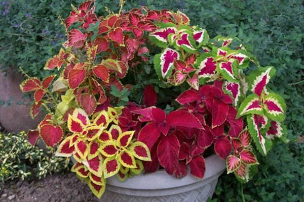 秋季观叶植物盆栽组合,比花还美