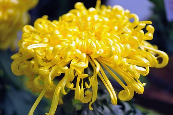 50种最美菊花,祝你花开富贵,喜气自来