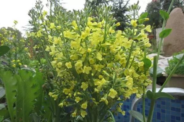 西兰花大头菜玉米,开花太美了