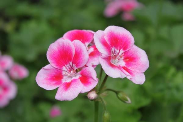 30种绝色天竺葵,比欧月还美