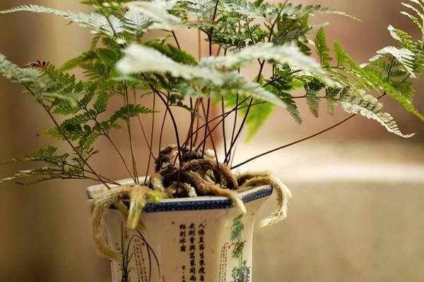 狼尾蕨的养殖方法和注意事项