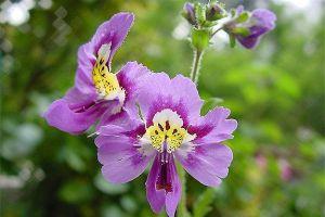 蛾蝶花的养殖方法和注意事项