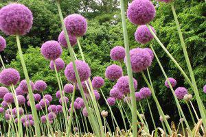 大花葱的养殖方法和注意事项