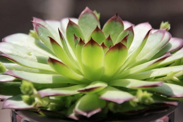 最有仙女气质的3款多肉植物