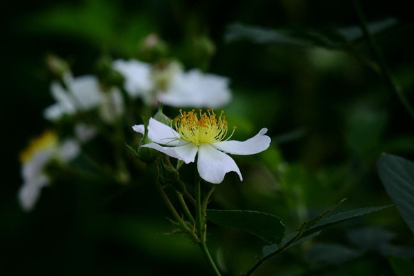 金樱子的养殖方法和注意事项