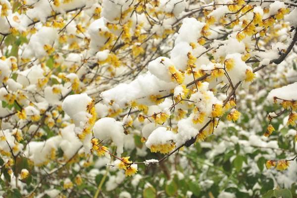 降霜下雪也能开花,这些植物太强悍