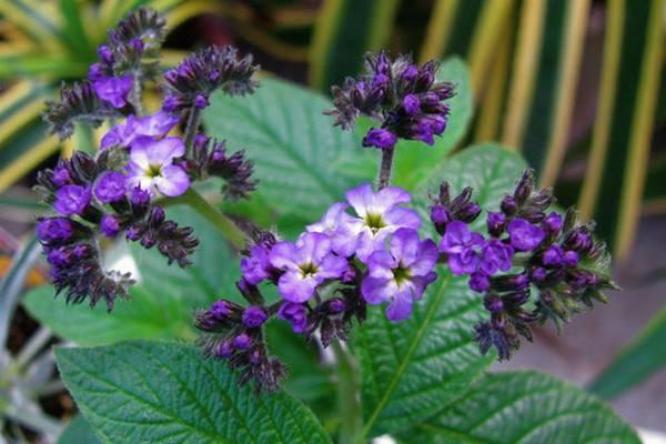 香水草的花语和文化传说