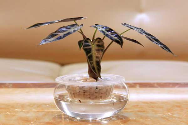 黑叶观音莲能水培吗
