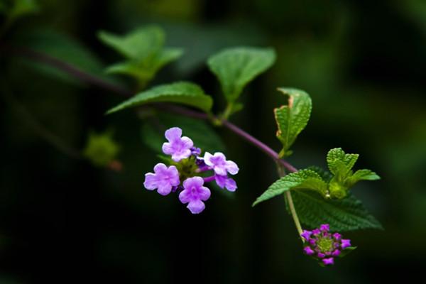 香水草什么时候开花