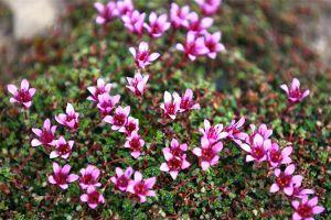 天冷了,21种超耐寒花卉大盘点