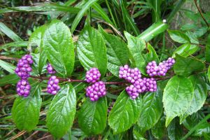 紫珠草的养殖方法和注意事项