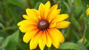 黑心菊和金光菊有什么区别