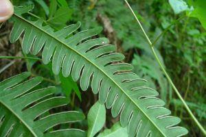 凤尾蕨的病虫害及其防治