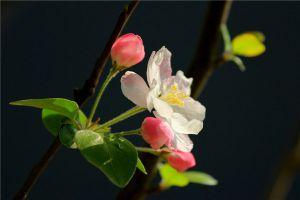 海棠花病害及防预大全