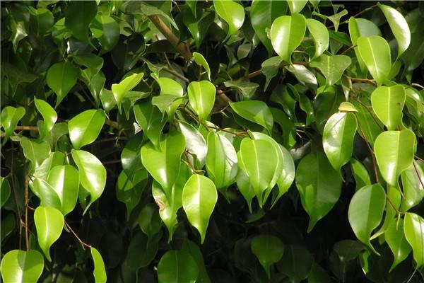 垂叶榕的养殖方法