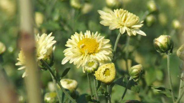 杭白菊和贡菊的区别