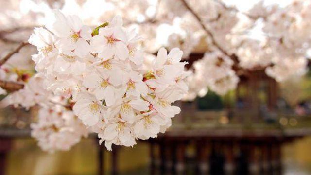 桃花和樱花怎么区别