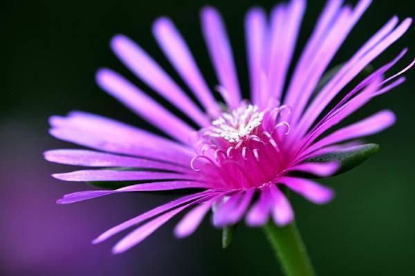 松叶菊和非洲菊的区别