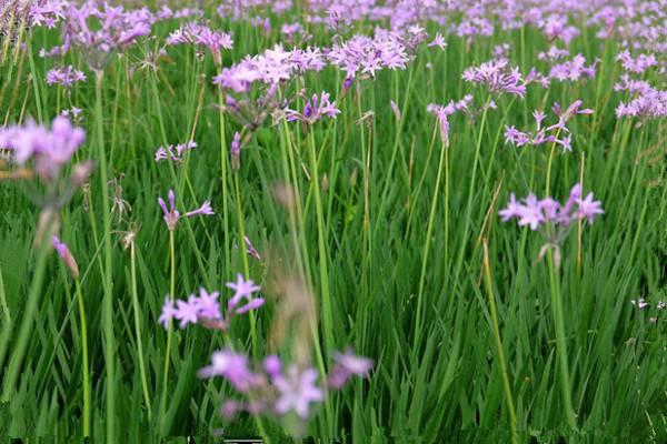 紫娇花什么时候开花