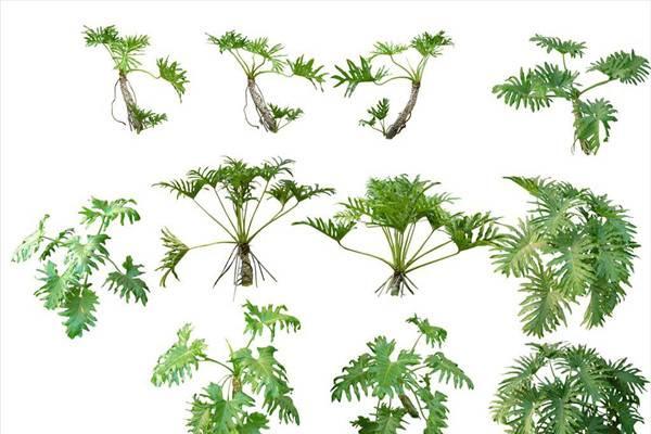 春羽和龟背竹的区别