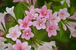 海仙花和锦带花的区别