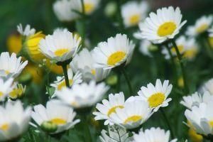 杭白菊的养殖方法