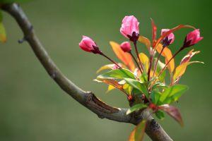 垂枝海棠的功效与作用