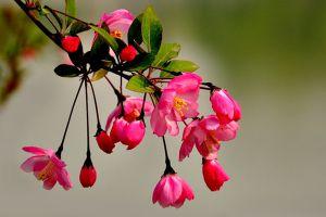 垂枝海棠的繁殖方法