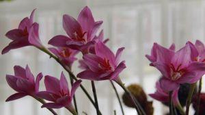 韭菜莲什么时候开花