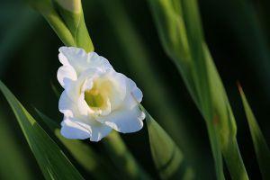 唐菖蒲的花语