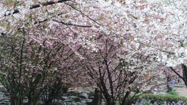 垂枝海棠和垂枝樱花的区别