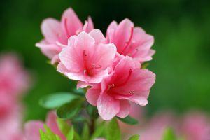 杜鹃花的花语和传说