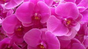 蝴蝶兰有哪些品种