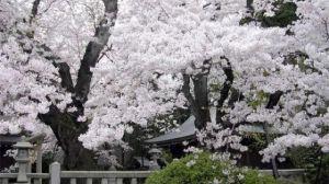樱花有哪些常见品种