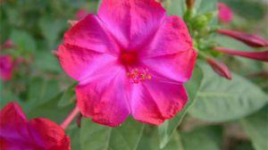 紫茉莉什么时候开花