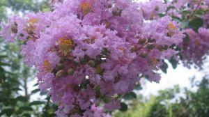 紫薇花盆景怎么造型