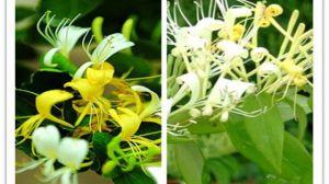 金银花和山银花的区别