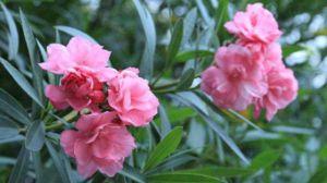 夹竹桃的花语和传说