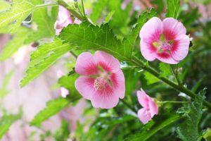 小木槿四季养护方法