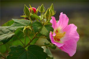 木芙蓉花的病虫害及其防治