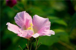 木芙蓉花的繁殖方法