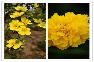 黄刺玫和棣棠花的区别