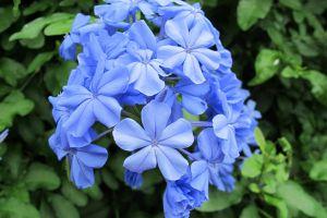 蓝花丹的病虫害及其防治