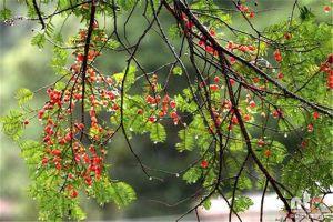 红豆杉怎么扦插繁殖