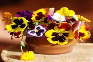 蝴蝶花的常见品种