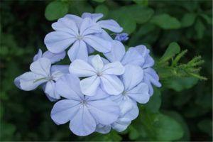 蓝花丹和白花丹的区别